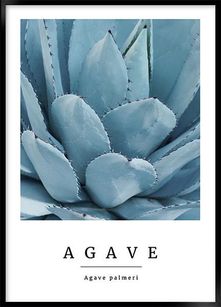 agave no2 thumbnail