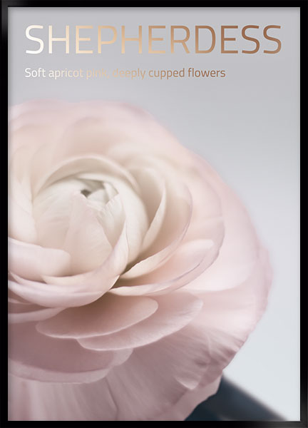 Plakat - Belle rose no6