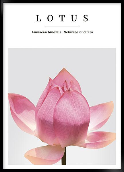 lotus no1 thumbnail