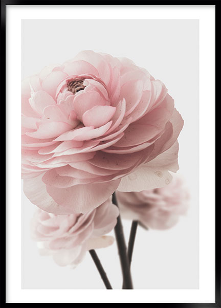Plakat - Pink rose no1