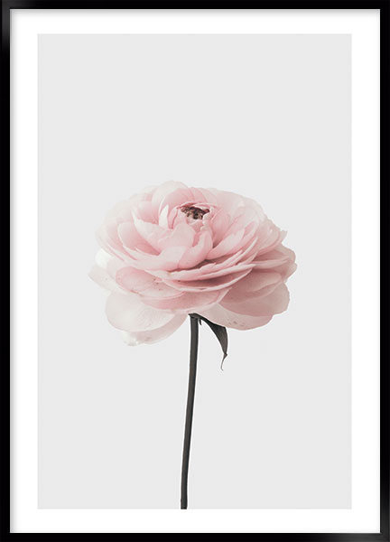 Plakat - Pink rose no2