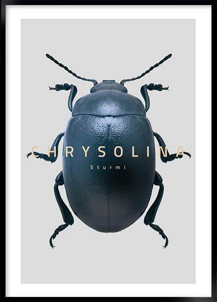 Plakat - Bug Chrysolina